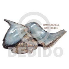 ra unpolished hammershells / per kilo - Raw Shells