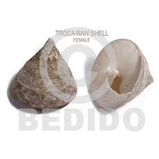 hand made Ra unpolished troca shells Raw Shells