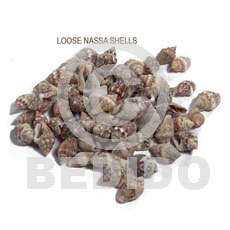 Ra unpolished nassa tiger shells Raw Shells